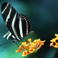 Butterfly image description